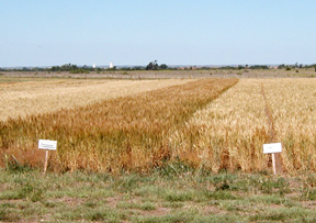 Wheat Plot at University Farm