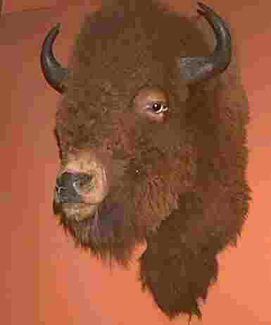 Bison in the Museum of Natural History